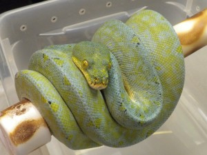 Green Tree Pythons 4