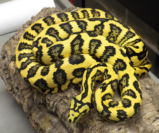 Carpet Pythons. Diamond Jungle Jaguar